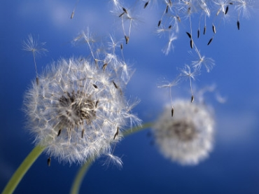 Dandelions blowing into the air